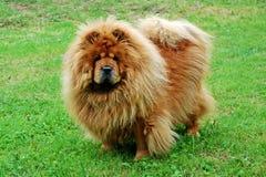 Cão vermelho da comida de comida em uma grama verde Imagens de Stock Royalty Free