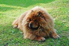 Cão vermelho da comida de comida em uma grama verde Foto de Stock Royalty Free