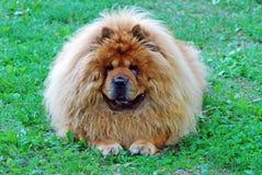 Cão vermelho da comida de comida em uma grama verde Imagem de Stock Royalty Free