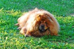 Cão vermelho da comida de comida em uma grama verde Foto de Stock