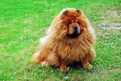 Cão vermelho da comida de comida em uma grama verde Imagem de Stock