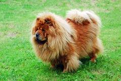 Cão vermelho da comida de comida em uma grama verde Fotos de Stock