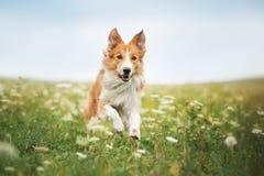 Cão vermelho de border collie que corre em um prado