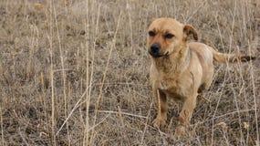 Cão vermelho desabrigado foto de stock