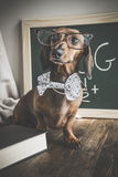 Cão vermelho do bassê na tabela de madeira Imagens de Stock Royalty Free