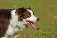 Cão vermelho do Collie de beira Fotos de Stock
