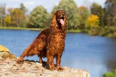 Cão vermelho do setter irlandês Imagem de Stock