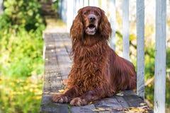 Cão vermelho do setter irlandês Imagens de Stock
