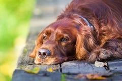 Cão vermelho do setter irlandês Fotos de Stock Royalty Free