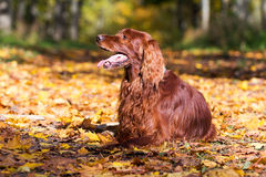 Cão vermelho do setter irlandês Imagem de Stock Royalty Free