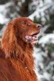 Cão vermelho do setter irlandês Fotos de Stock