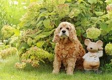 Cão vermelho do Spaniel de Cocker inglês da raça Fotos de Stock