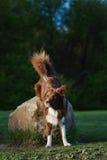 Cão vermelho em um prado, verão de border collie Imagem de Stock