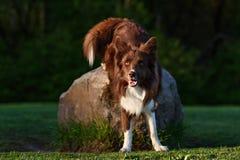 Cão vermelho em um prado, verão de border collie Fotos de Stock Royalty Free