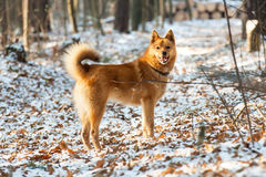 Cão vermelho na floresta Imagem de Stock