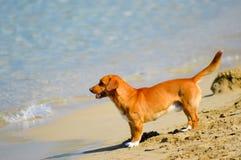 Cão vermelho na parte dianteira Fotos de Stock Royalty Free