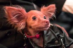 Cão vermelho na roupa para animais fotos de stock