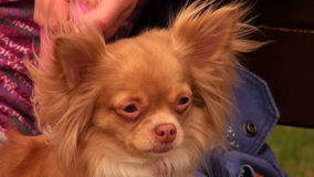 Cão vermelho pequeno vídeos de arquivo