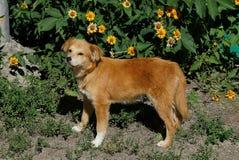 Cão vermelho que está na terra perto de uma cama de flor na jarda Foto de Stock