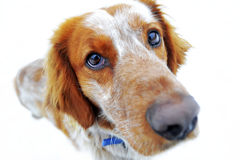Cão vermelho que olha a câmera Fotografia de Stock