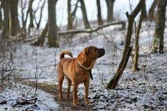 Cão vermelho Shar Pei na floresta do inverno fotografia de stock