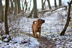 Cão vermelho Shar Pei na floresta do inverno foto de stock