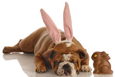 Cão vestido como o coelho de easter foto de stock royalty free