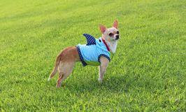 Cão vestido como o tubarão Fotografia de Stock Royalty Free