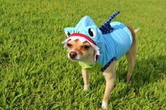 Cão vestido como o tubarão Fotos de Stock