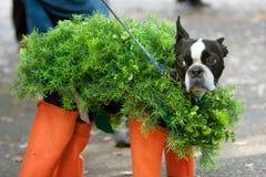Cão vestido no traje do animal de estimação de Chia para o Dia das Bruxas imagens de stock