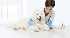 Cão veterinário do exame, análise de sangue, sagacidade veterinária de sorriso fotografia de stock royalty free