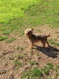 Cão: Yorkshire terrier Fotos de Stock Royalty Free