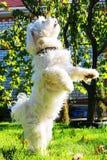 Cãozinho inglês Foto de Stock