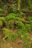 Cèdre au sol méridional, région rose de bâtis, Pisgah N-F photo stock