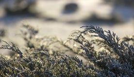Cèdre blanc - fin d'Occidentalis de Thuja, profondeur photos libres de droits