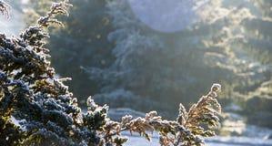 Cèdre blanc - fin d'Occidentalis de Thuja, profondeur photo stock