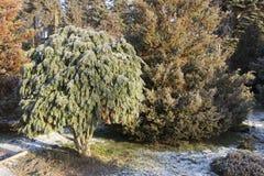Cèdre blanc - fin d'Occidentalis de Thuja, profondeur photographie stock
