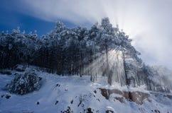 Cèdre d'hiver Photographie stock libre de droits