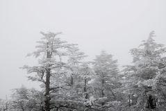 Cèdre en hiver Image stock
