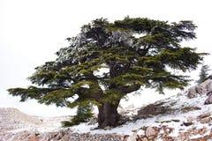 Cèdre libanais Photographie stock libre de droits