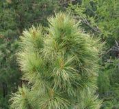 Cèdre ou pin sibérien Photo stock