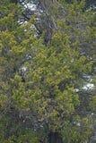 Cèdre rouge Photo libre de droits