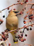 Cèdre Waxwing Photographie stock