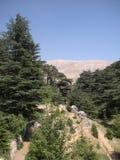 Cèdres du Liban Image libre de droits