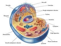 Célula humana ilustración del vector