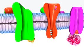 Célula humana del transporte activo libre illustration