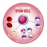 célula madre de Uno mismo-renovación libre illustration
