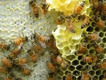 Células capsuladas de la miel y del néctar Foto de archivo libre de regalías