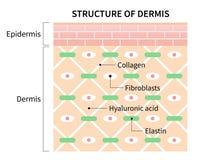Células de la estructura del ejemplo del dermis aisladas en el fondo blanco Piel y concepto de la atención sanitaria stock de ilustración