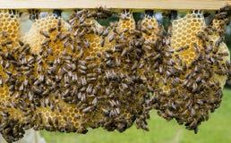 Células de la reina con las reinas de la abeja Fotos de archivo libres de regalías